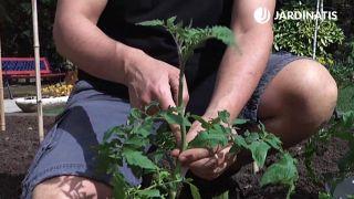 Podar tallos laterales de los tomates
