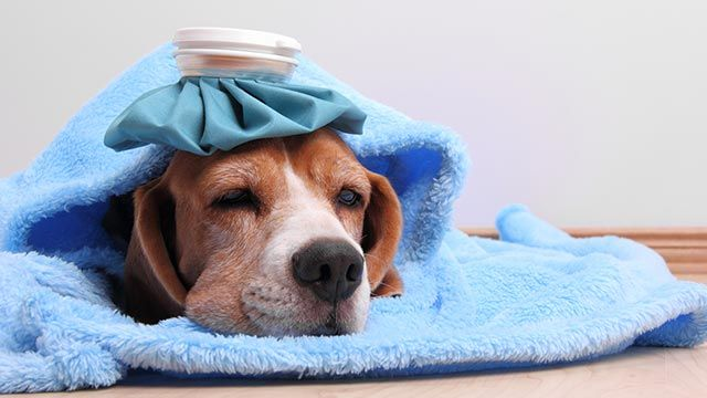 Perro con una bolsa térmica en la cabeza