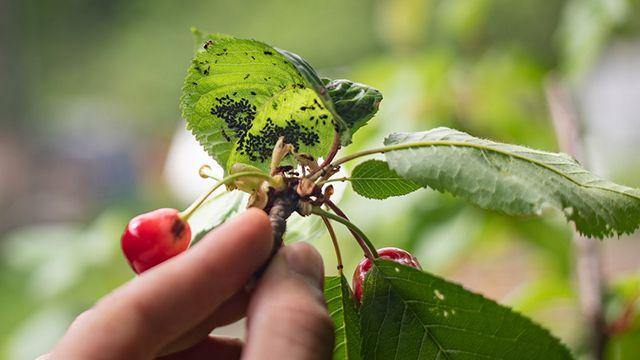 Pulgón en las hojas de las plantas