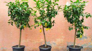 ¿Por qué a un limonero plantado en maceta se le caen las hojas?