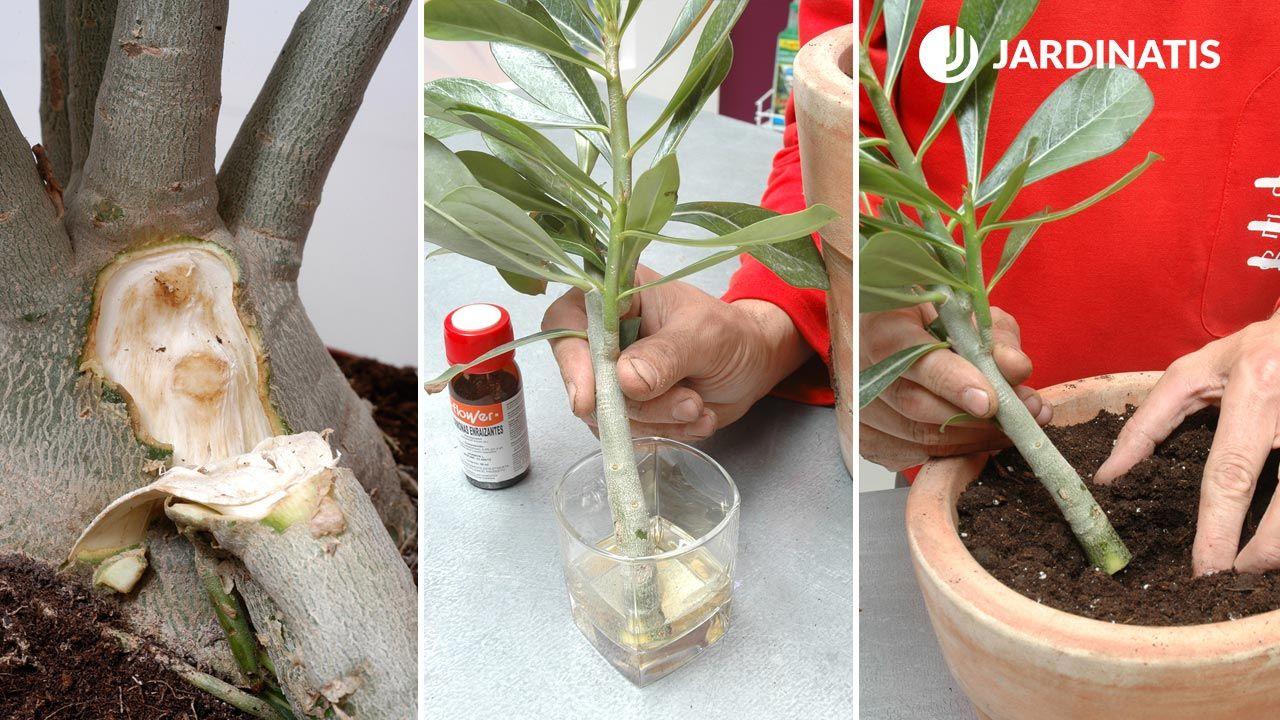 Cómo reproducir la rosa del desierto mediante un esqueje de rama