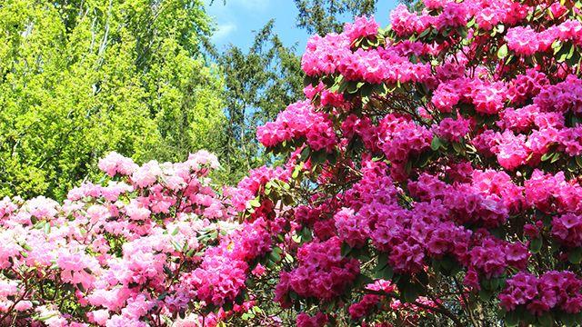 Rododendro en el jardín