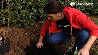 Plantación del avellano en el jardín