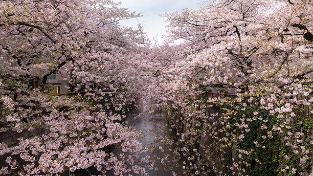 cerezos en flor con río meguro