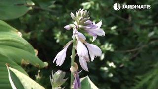 Floración lila de la hosta
