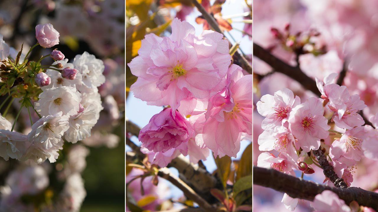 Variedades de cerezos japoneses