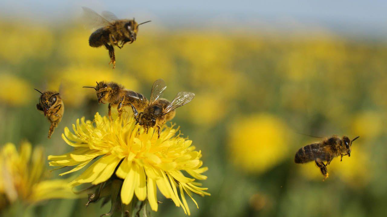Abejas, insectos beneficiosos para el ecosistema