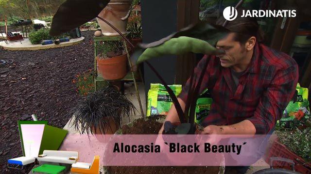"Alocasia ""Black Beauty"""
