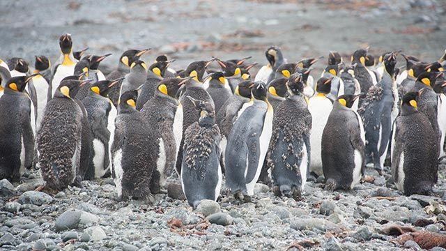 Grupo de pingüinos durante la muda de plumaje