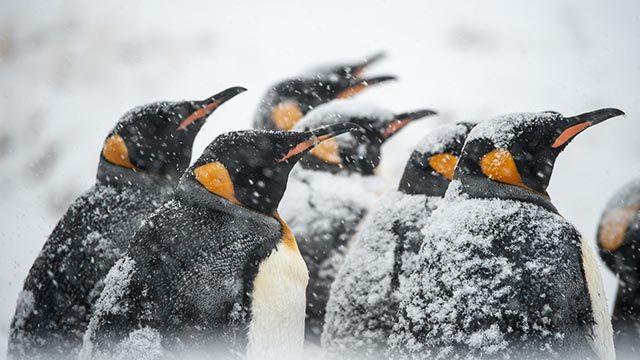 Pingüinos entre la nieve