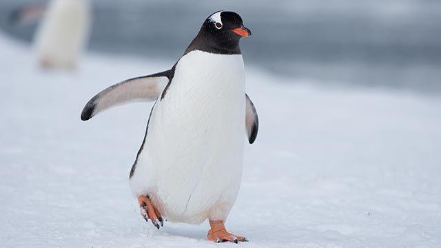Pingüino andando por la nieve