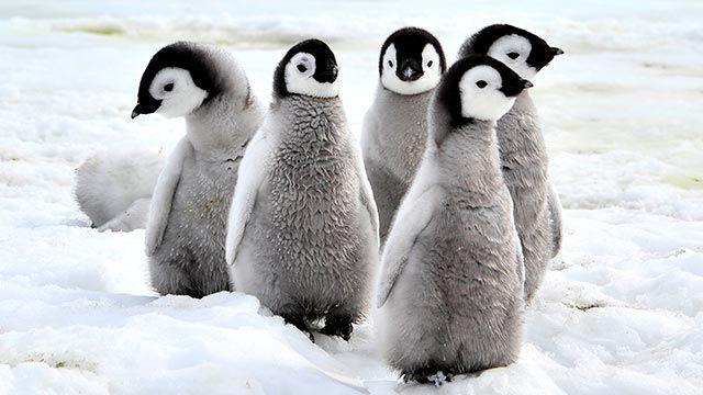 Crías de pingüino