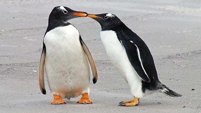 Pareja de pingüinos enamorados