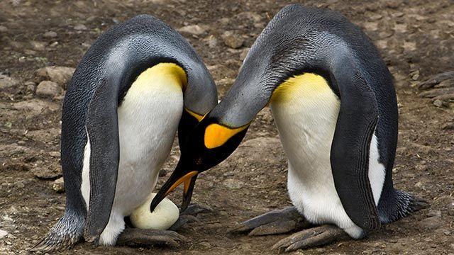 Hembra y macho de pingüinos cuidando su huevo