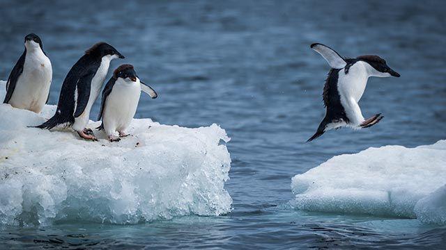 Pingüinos saltando un bloque de hielo
