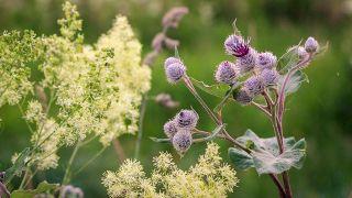 Bardana, planta medicinal limpiadora y antiinflamatoria - Cultivo