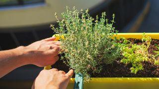 Cómo cultivar tomillo