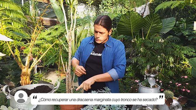 ¿Cómo recuperar una dracaena marginata cuyo tronco se ha secado?