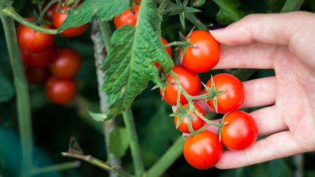 ¿Cuándo se cosechan los tomates cherry?