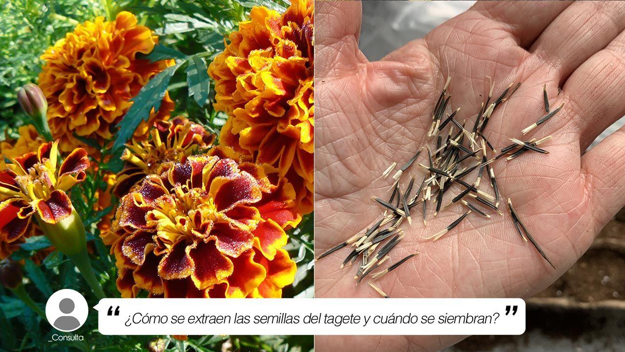 ¿Cómo se extraen las semillas del tagete y cuándo se siembran?