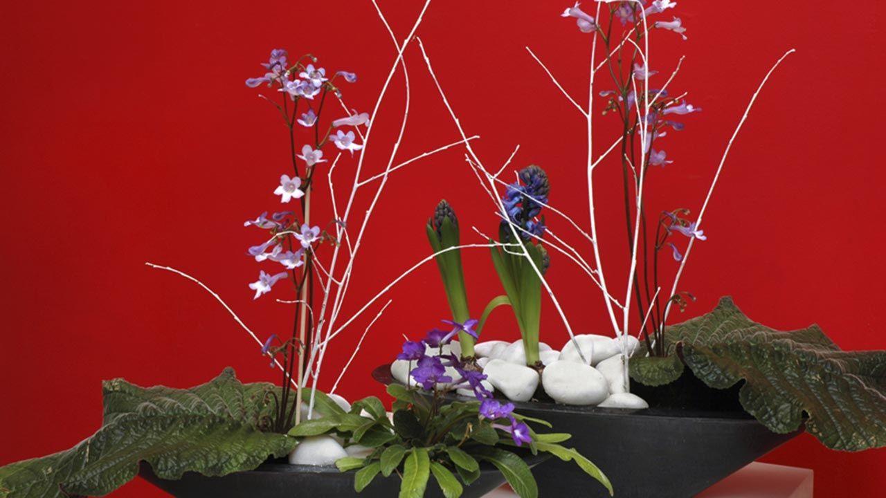 Composición con Prímula de El Cabo o Streptocarpus wendlandii y jacinto