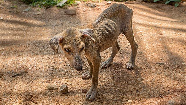 Perro extremadamente delgado