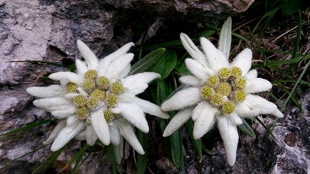 Flor alpina de edelweiss