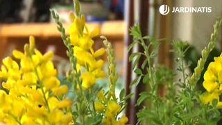 Flores de la genista