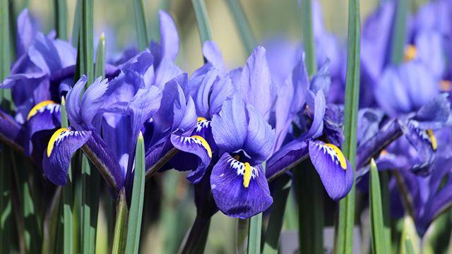 Flores Iris para el día de la madre