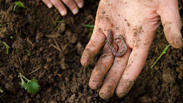 Lombrices en el compost