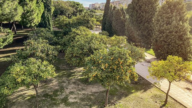 Naranjos de los Jardines de Turia de Valencia