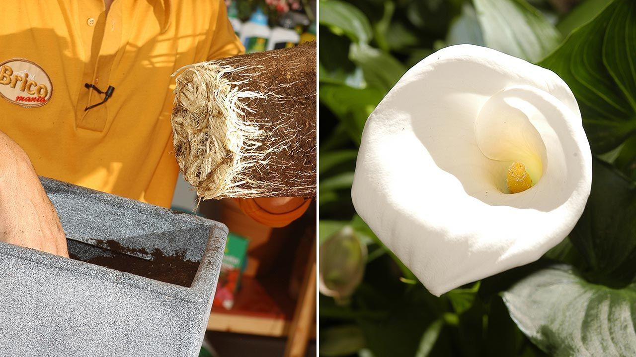 Plantación de la cala o lirio de agua