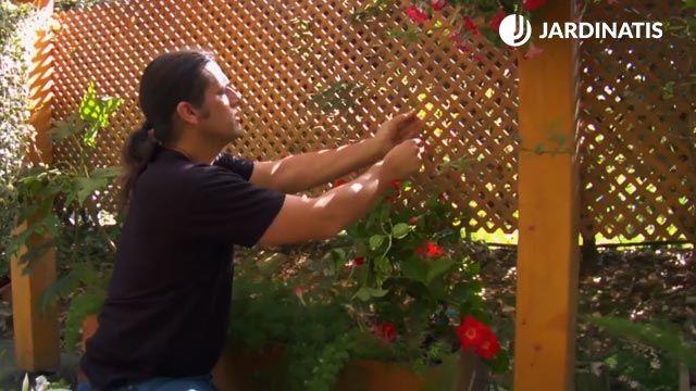 Plantación de la dipladenia en jardinería con celosía
