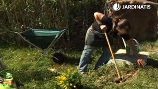 plantación en el jardín de la genista