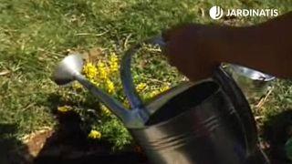 Genista: características y plantación en el jardín