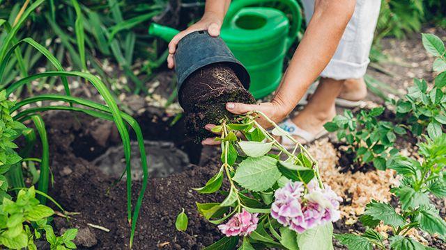 Plantar hortensias en el jardín
