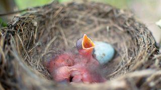 Polluelos recién nacidos