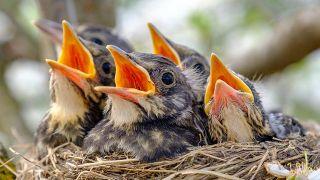 Polluelos volantón