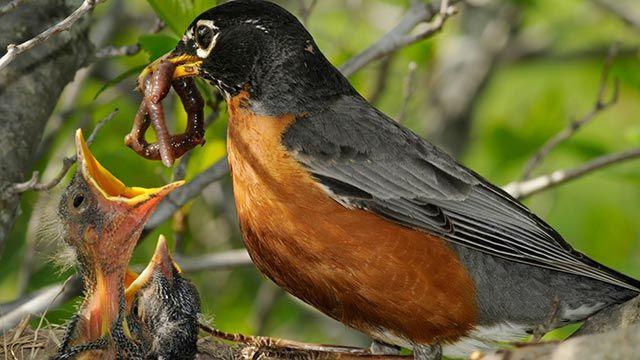 Ave alimentando a sus polluelos