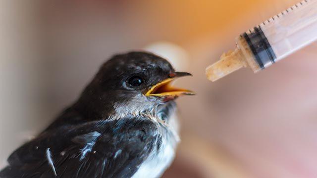 Polluelo alimentado mediante una jeringuilla