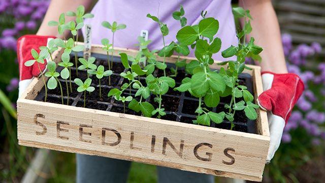 Hacer un semillero con cajas de fresas