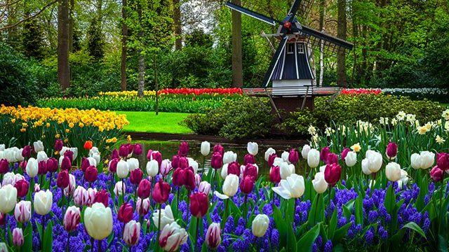 Tulipanes de Lisse