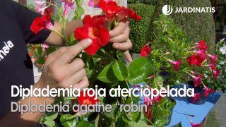 "Dipladenia agathe ""robin"""