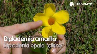 """Dipladenia opale """"citrine"""""""