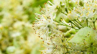 10 plantas para mejorar la circulación de la sangre - Flores del tilo