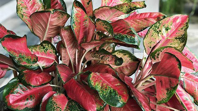 Aglaonema roja o Aglaonema rojo de fuego