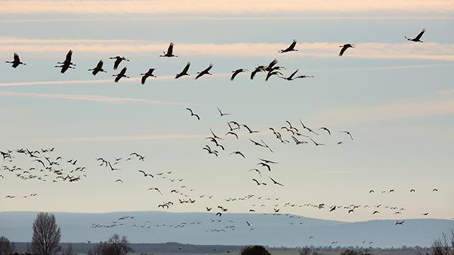 Aves sobrevolando la laguna de Gallocanta en Zaragoza