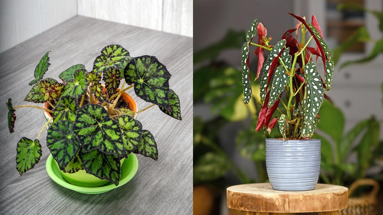 Begonia tigre y begonia maculata