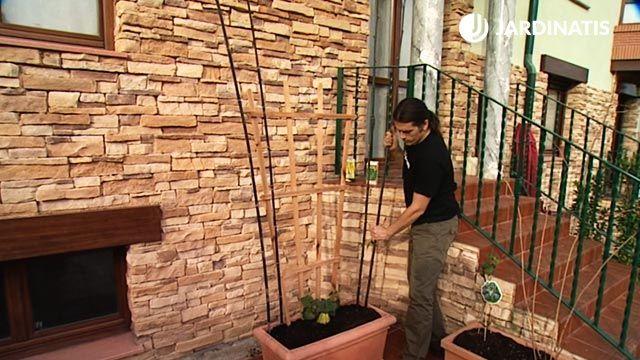 Cómo cultivar chayotes y judías en la terraza
