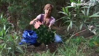 Trasplante de cepellón del hibisco en el jardín